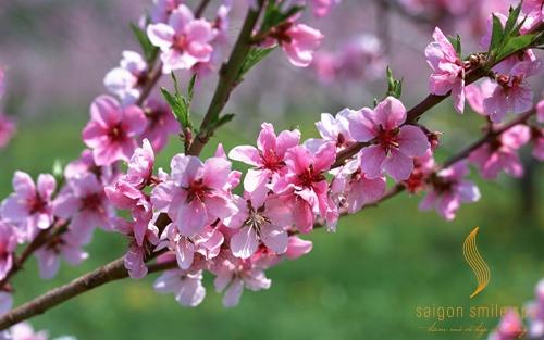 cách chữa tàn nhang trên mặt bằng hoa đào